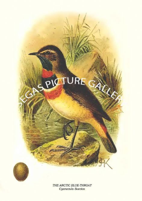 Fine art print of the THE ARCTIC BLUE-THROAT - Cyanecula Suecica by R. Bowdler Sharpe (1895)